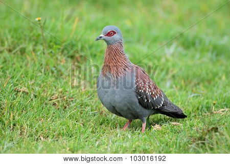 A rock pigeon (Columba guinea) sitting on green grass, South Africa