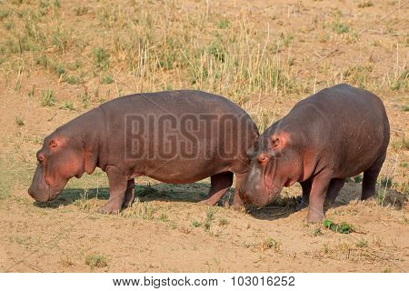 Two hippos (Hippopotamus amphibius) on land, Kruger National Park, South Africa