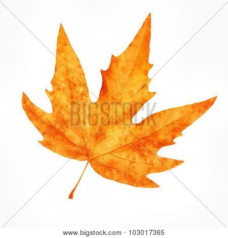Dry maple leaf isolated on white background, beautiful autumnal detail, weather changes, beauty of autumn nature