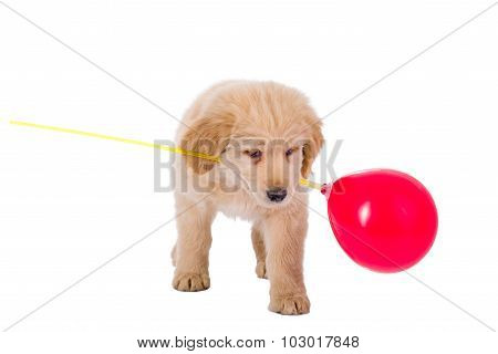 Golden Retriever Puppy Playing With Balloon