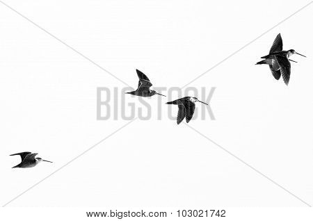 Flock Of Sandpipers Flying On A White Background