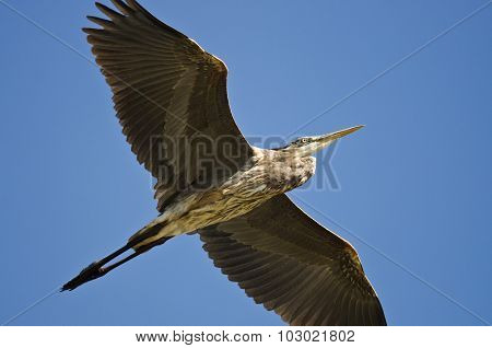 Great Blue Heron Flying In A Blue Sky