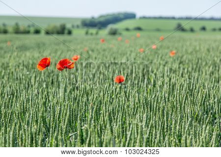 Field of red dainty poppies. Nature background.
