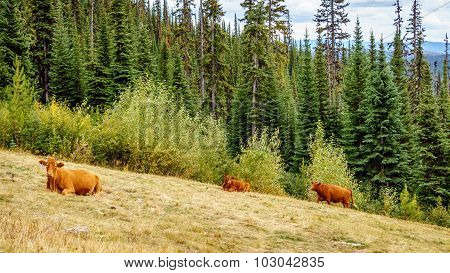 Cows grazing in the high alpine meadows