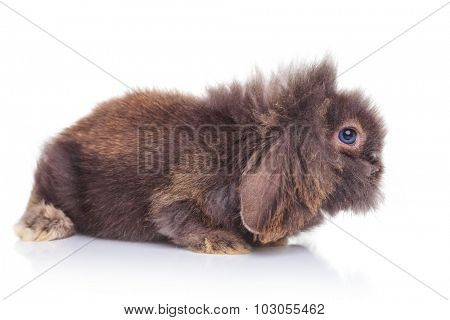 Side view of an adorable rabbit bunny lying on studio background, looking away.