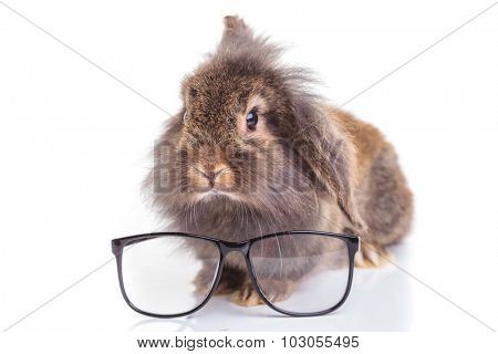 Lion head rabbit bunny sitting on isolated background with a pair of glasses in front of him.
