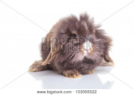 Front view of a lion head rabbit bunny stting while looking at the camara.