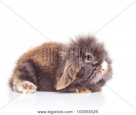 Cute lion head rabbit bunny lying on studio background, side view.