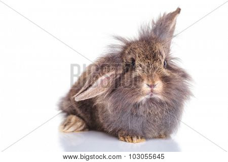 Front view of an adorable lion head rabbit bunny lying on studio background, looking at the camera.