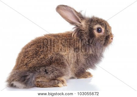 Side view of a cute lion head rabbit bunny lying on isolated background, looking away from the camera.