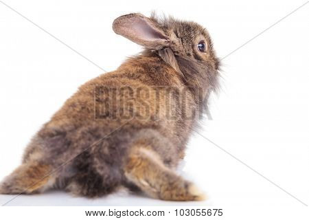 Back view of a lion head rabbit bunny lying on isolated background