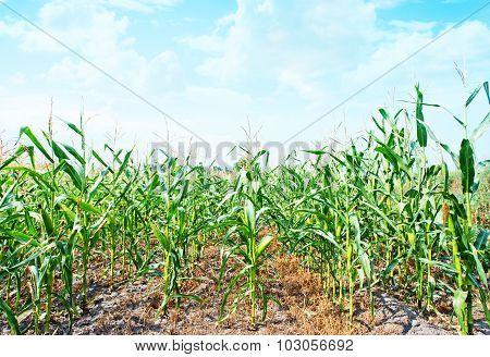 Beautiful Green Maize Field