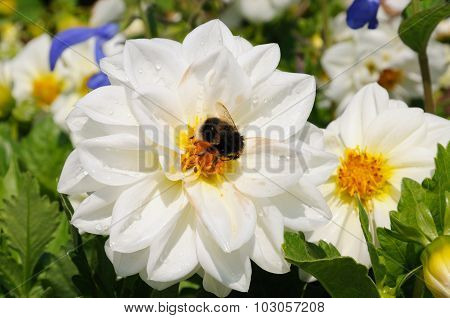 Bee in the centre of a Dahlia.
