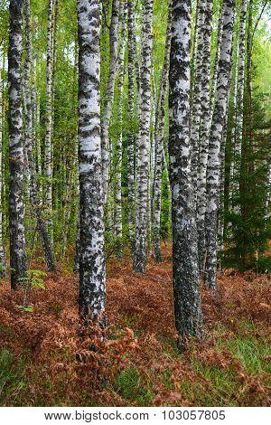 Latvian Silver Birch Grove