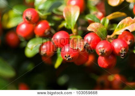 Autumn Background With Red Gaultheria