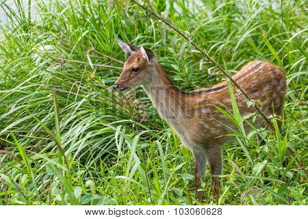 Roe deer on the meadow grass