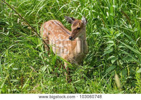 Wildness roe deer