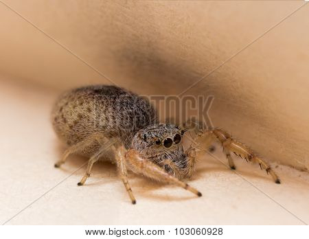 Brown Jumping Spider Hides In Book