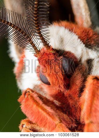 Closeup Portrait Of Orange, White And Brown Giant Silk Moth