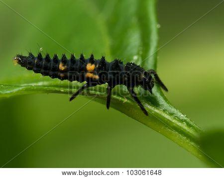 Black And Orange Ladybug Larvae On Green Leaf