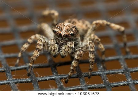 Jumping Spider With Big Reflective Eyes On Window Screen