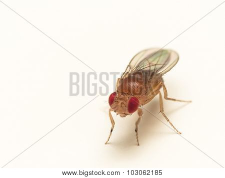 Close Up Of Fruit Fly With Bright Red Eyes On White Surface