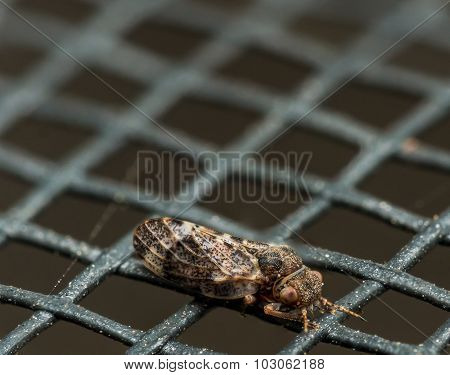 Small Brown Spittlebug With Red Eyes On Window Screen