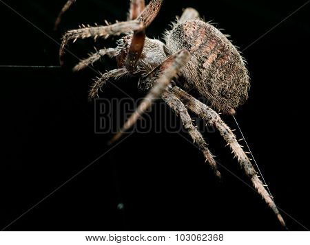 Orb Weaving Spider Lays Out Web Closeup With Black Background