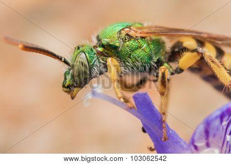 Green Metallic Sweat Bee On Purple Flower Profile View