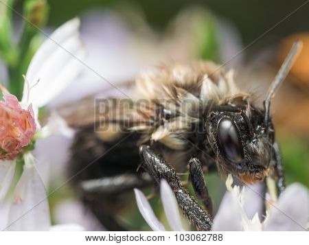 Soaking Wet Bumble Bee Extracts Pollen From White Flower