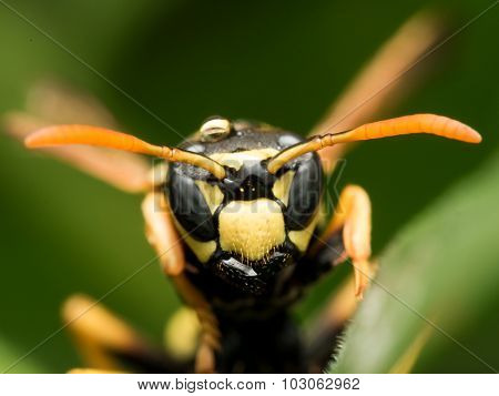 Black And Yellow Wasp  On Green Grass Close Up Frontal View