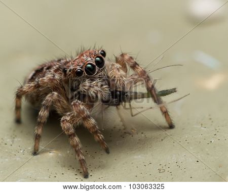 Small Jumping Spider Eating