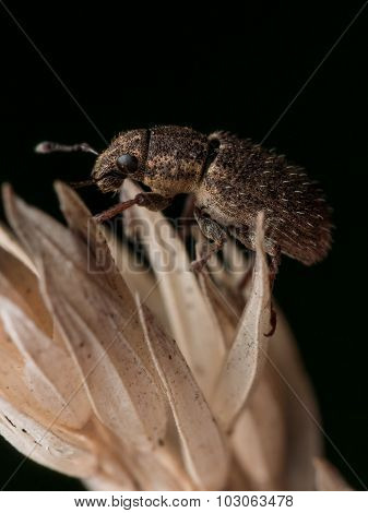 Brown Weevil Crawls On Plant With Black Background
