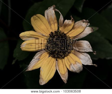Yellow Sunflower With Faded Dying Petals