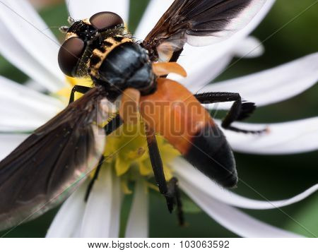 Strange Hoverfly With Orange Abdomen On White Aster From Above