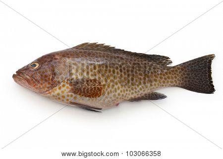 areolate grouper,epinephelus areolatus,yellow spotted rockcod