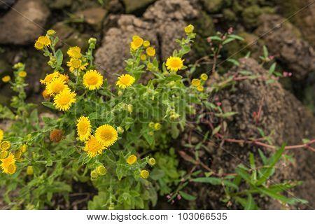 Yellow Blooming Common Fleabane