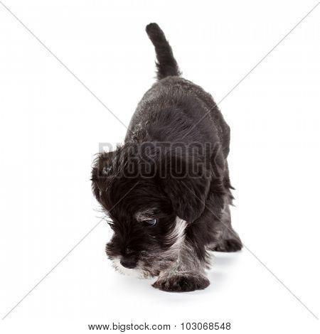 Miniature Schnauzer Puppy over White Background