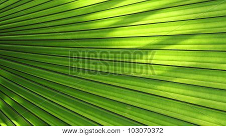 Texture of Green palm Leaf