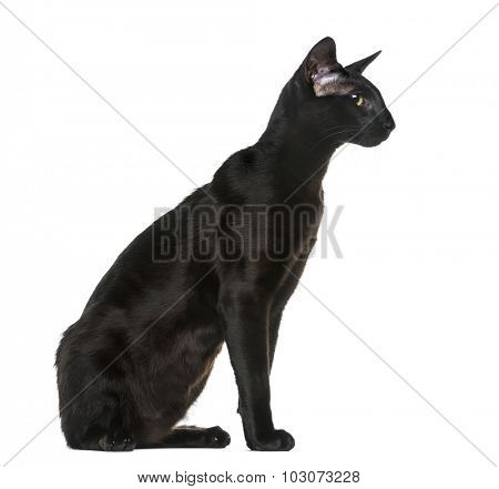 Oriental Shorthair (8 months old) sitting in front of a white background