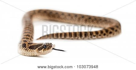 Western hog-nosed snake, Heterodon nasicus against white background