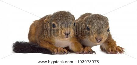 Two Red squirrel babies in front of a white background
