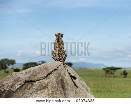 Cheetah sitting on a rock and looking away, Serengeti, Tanzania
