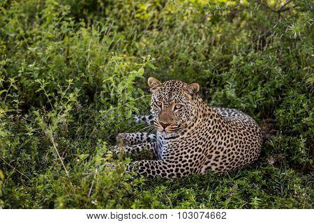 Leopard lying, Serengeti, Tanzania