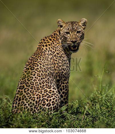 Leopard sitting, Serengeti, Tanzania
