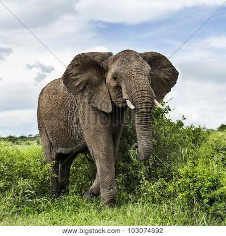 Elephant walking, Serengeti, Tanzania