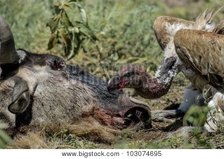 Ruppells Vulture eating, Serengeti, Tanzania