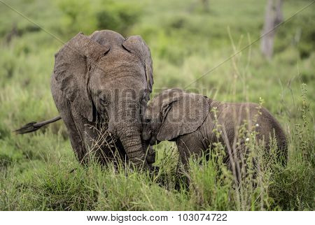 Young Elephants cuddling, Serengeti, Tanzania
