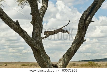 Leopard jumping from a tree, Serengeti, Tanzania