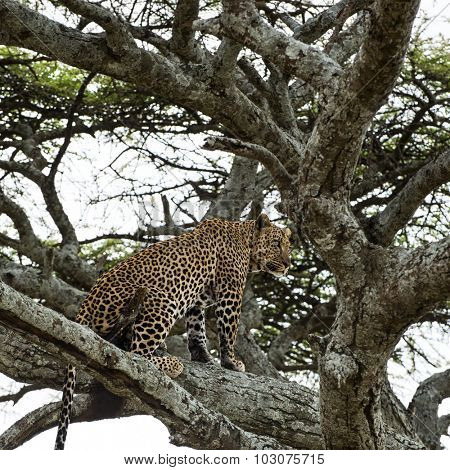 Leopard sitting on a branch, Serengeti, Tanzania